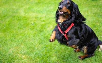 3 Steps to Teach Your Dog Not to Jump